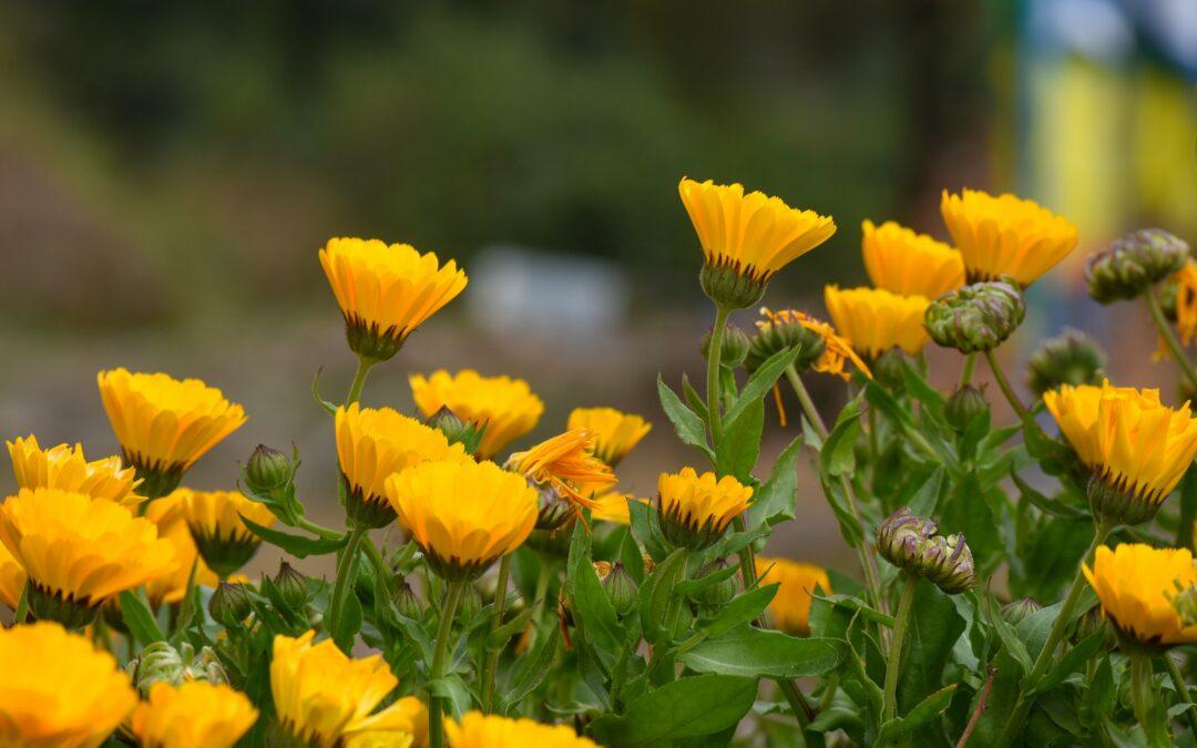 Flor de Caléndula, una maravilla de la Naturaleza